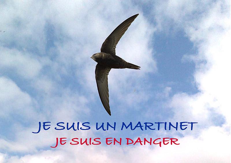 Je suis un Martinet, je suis en danger!