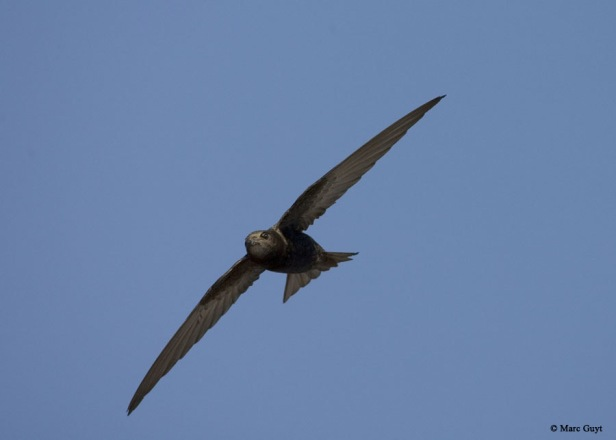 AGAMI Common Swift 12 June 2006 Katwijk Netherlands Marc Guy copie